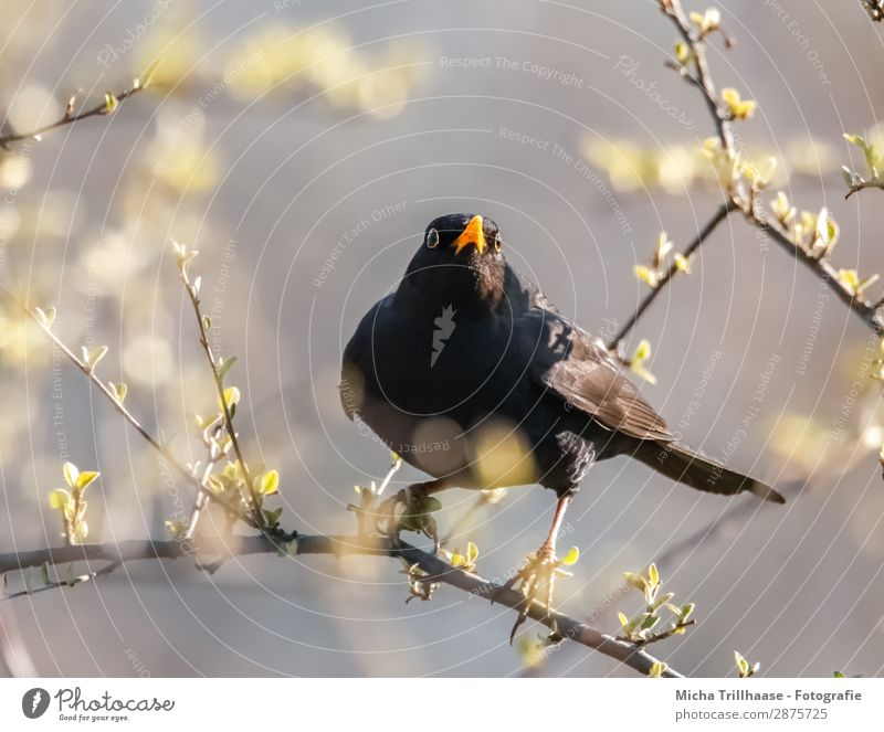 Skeptical look, blackbird Nature Animal Sky Beautiful weather Tree Leaf Twigs and branches Wild animal Bird Animal face Wing Claw Blackbird Beak Eyes Feather