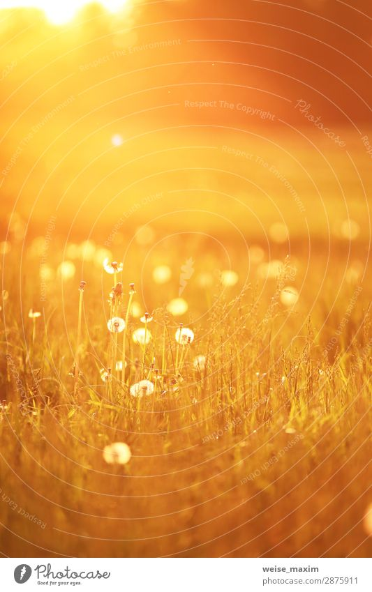 Sunny dandelion meadow in spring Nature Summer Beautiful Green Landscape Flower Leaf Yellow Spring Meadow Grass Design Bright Wild Park