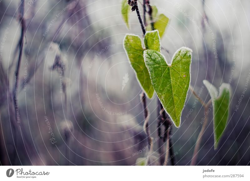 love of nature Environment Nature Plant Foliage plant Wild plant Cold Morning glory Heart Heart-shaped Leaf Frost Frozen Hoar frost Autumn Winter Green Gray