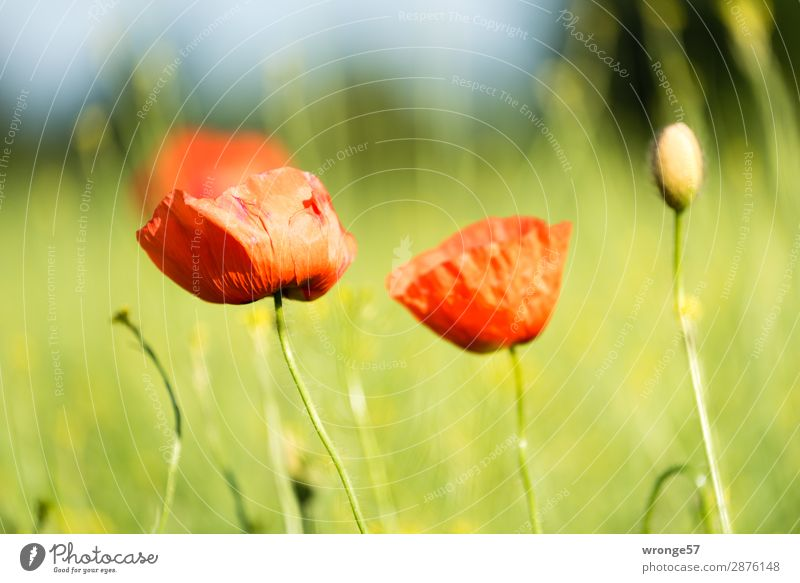 Nature Summer Plant Green Red Spring Gray Field Beautiful weather Poppy Agricultural crop Wild plant Margin of a field Landscape format Poppy blossom