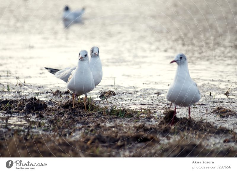 Nature White Animal Gray Bird Brown Together Wild animal Wait Stand Observe Curiosity Attachment Seagull River bank Watchfulness