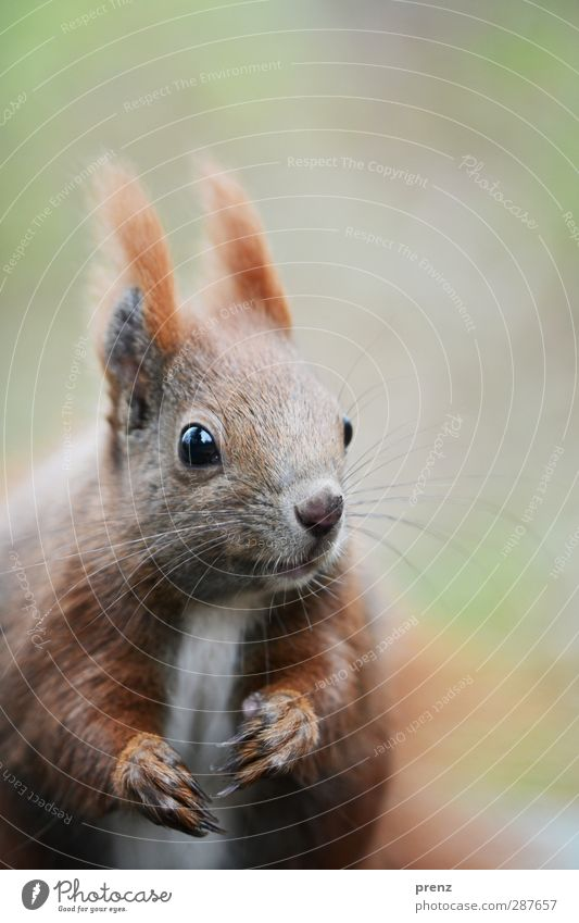 croissant Environment Nature Animal Wild animal Animal face 1 Brown Green Looking Squirrel Rodent Colour photo Exterior shot Deserted Copy Space top Morning