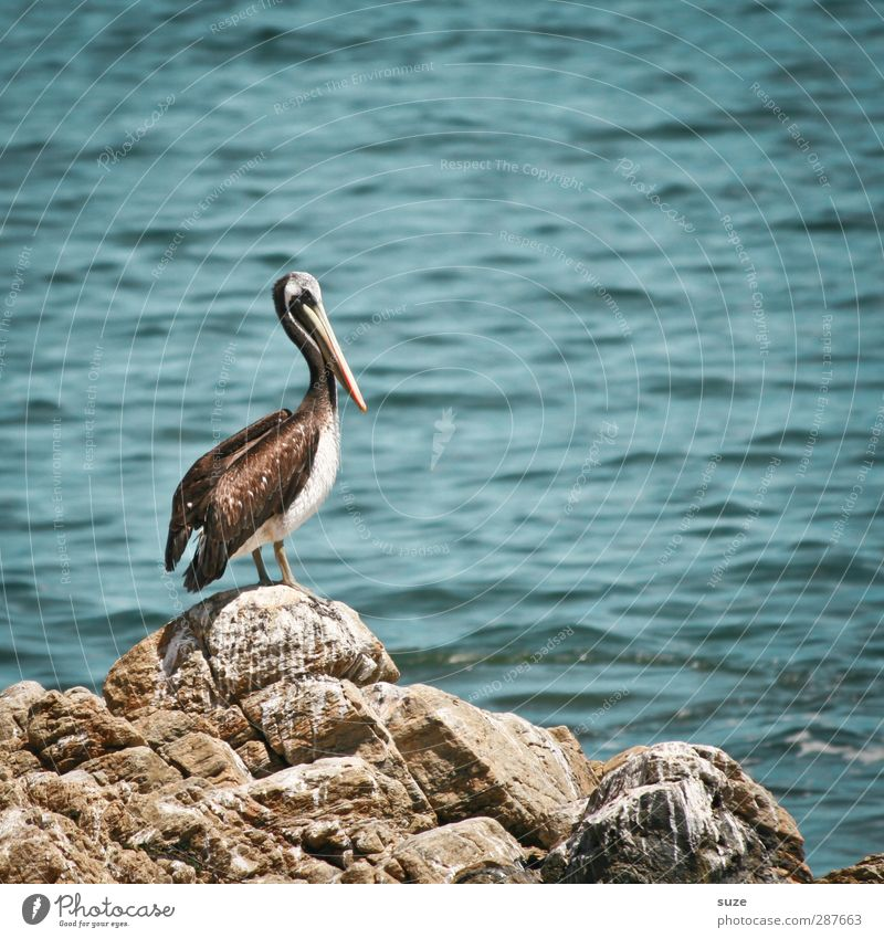 Fischers Fritze Environment Nature Animal Elements Water Summer Climate Beautiful weather Rock Coast Ocean Wild animal Bird 1 Blue Pelican Surface of water
