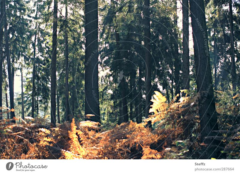 forest colours Automn wood Shaft of light ferns Farnsheets Back-light Forest atmosphere Edge of the forest Green Yellow Orange Mood lighting November mood
