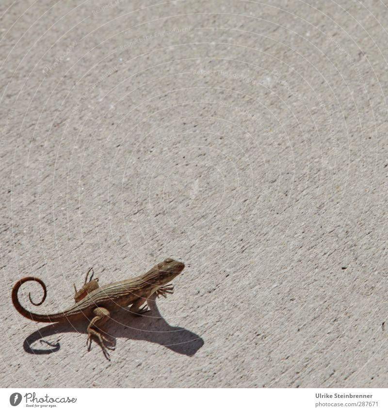 Kringelmonster² Animal Wild animal Lizards Saurians Reptiles 1 Observe Crouch To swing Curiosity Cute Round Brown Lacertidae Sunbathing Animal foot Tails Whorl
