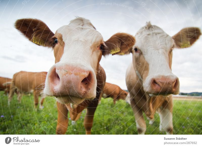 Animal Meadow Bright Couple Brown Field Stand Group of animals Posture Near Pasture Cow Direct Summery Farm animal Herd