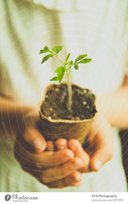 growth plants Plant Green tomato plant Hand Stop little plant Vegetable Weigh Future Green thumb Earth Growth preserve Protect Colour photo Interior shot