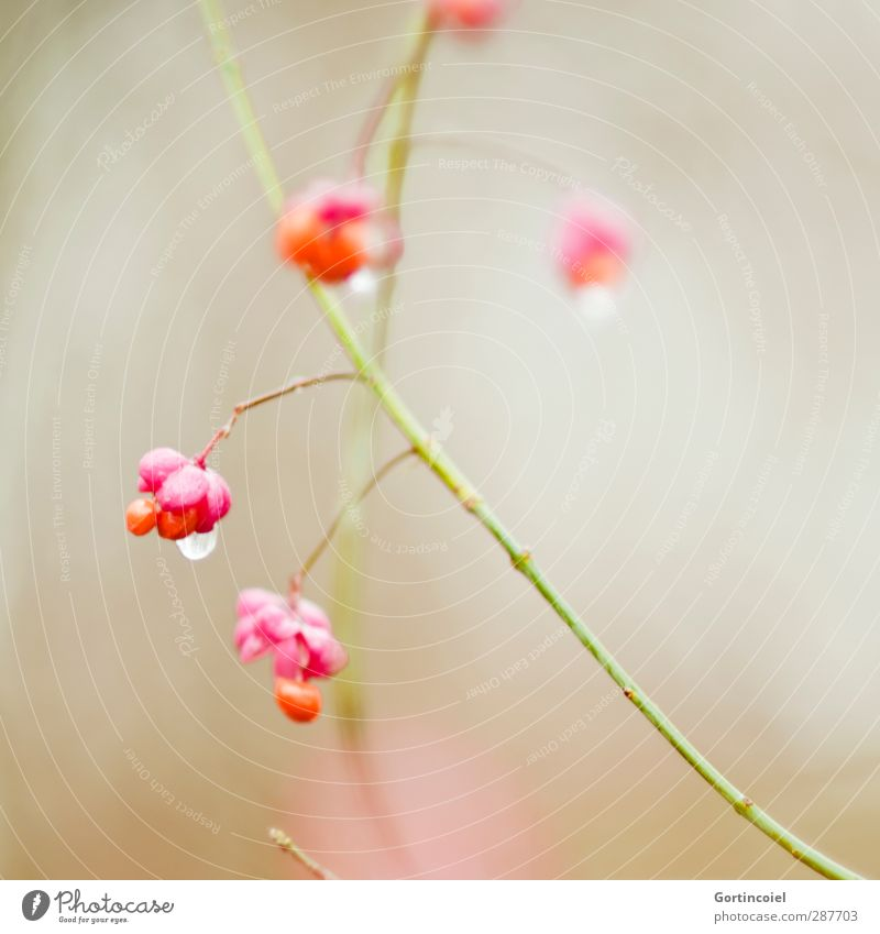 Nature Beautiful Plant Winter Blossom Orange Pink Bushes Drops of water Blossoming Common spindle
