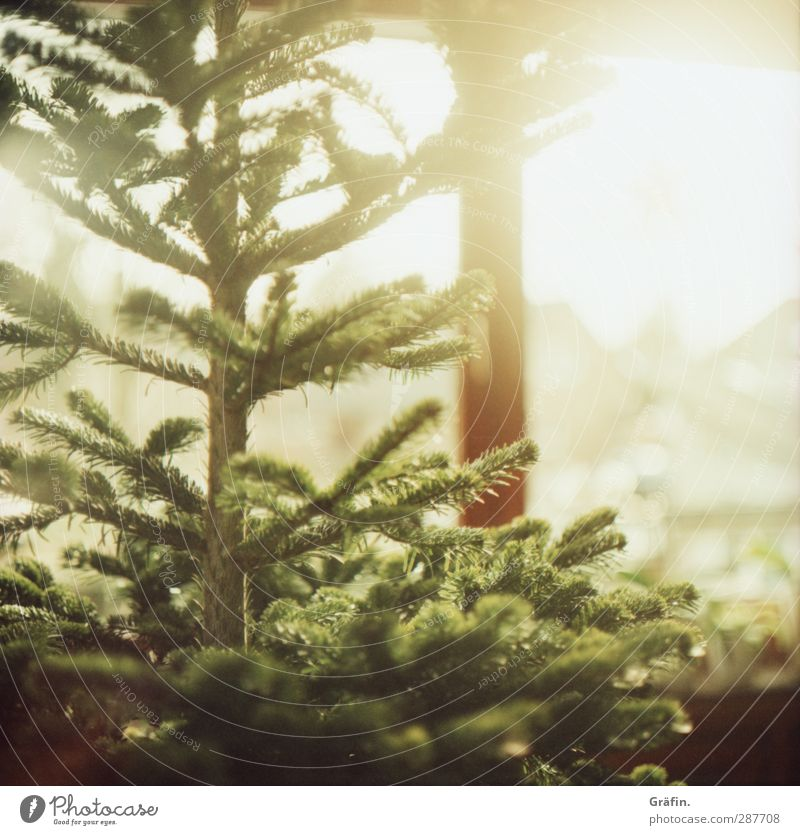 christmas tree Tree Christmas tree Illuminate Natural Brown Green Expectation Nostalgia Tradition Christmas & Advent Colour photo Interior shot Copy Space right
