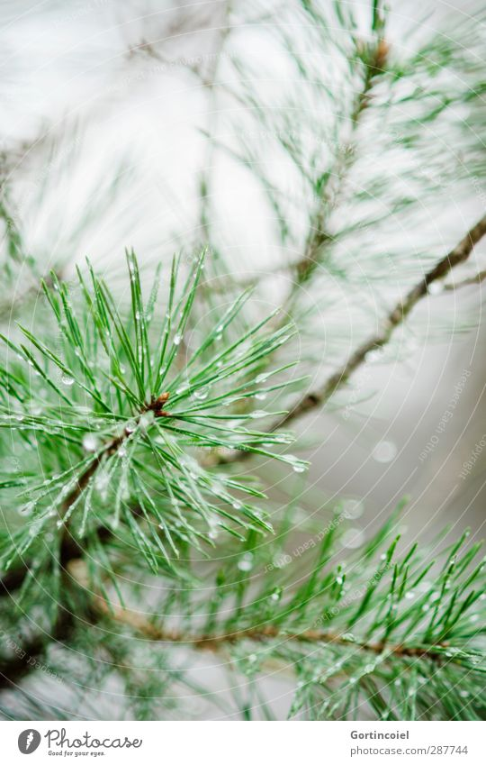 Scots pine Nature Winter Rain Plant Tree Forest Wet Green Coniferous trees Drops of water Fir needle Colour photo Exterior shot Copy Space top