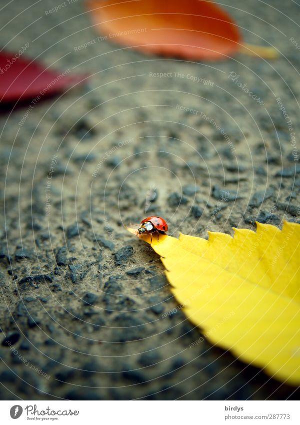 vagabond Autumn Leaf Asphalt Ladybird 1 Animal Fragrance Crawl Illuminate Friendliness Small Cute Positive Beautiful Yellow Orange Red Life Happy Optimism Pure
