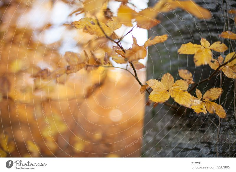 on the left Environment Nature Plant Autumn Tree Leaf Forest Natural Yellow Tree trunk Colour photo Exterior shot Deserted Copy Space left Day