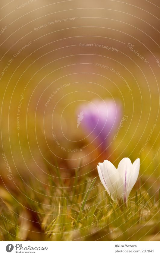 Get up! Nature Plant Spring Beautiful weather Flower Grass Blossom Crocus Spring flowering plant Garden Park Meadow Blossoming Growth Fragrance Fresh Natural