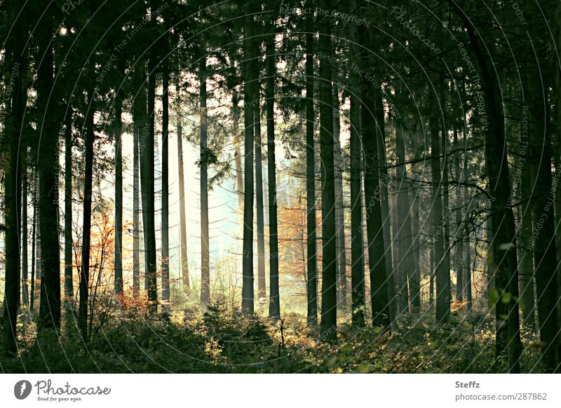 dark autumn forest with light mood Automn wood Eerie enchanted forest bath Mystic Domestic mystical forest Mood lighting Shaft of light Row of trees pine forest