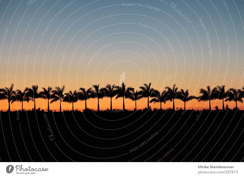 18 more palm trees until Christmas Vacation & Travel Tourism Far-off places Environment Nature Landscape Plant Sky Cloudless sky Spring Tree Agricultural crop