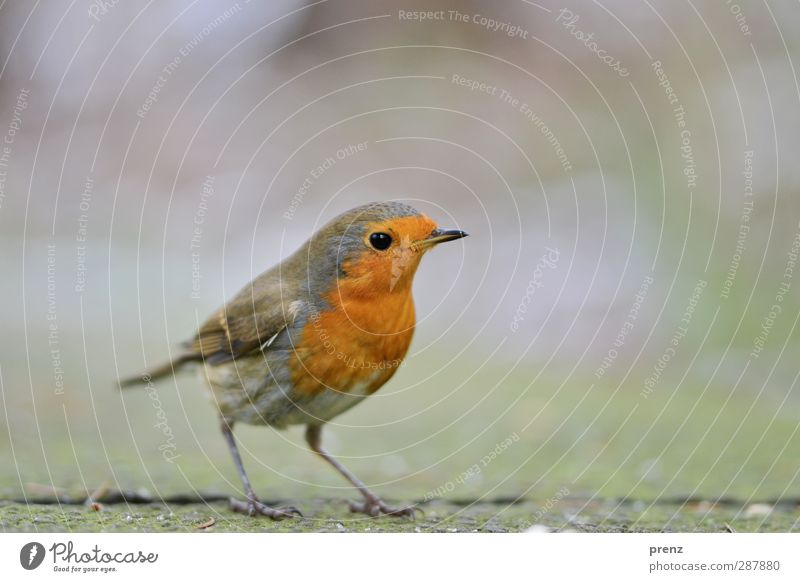 little bird Environment Nature Animal Wild animal Bird 1 Cute Gray Green Orange Red Songbirds Robin redbreast Stand Colour photo Exterior shot Deserted