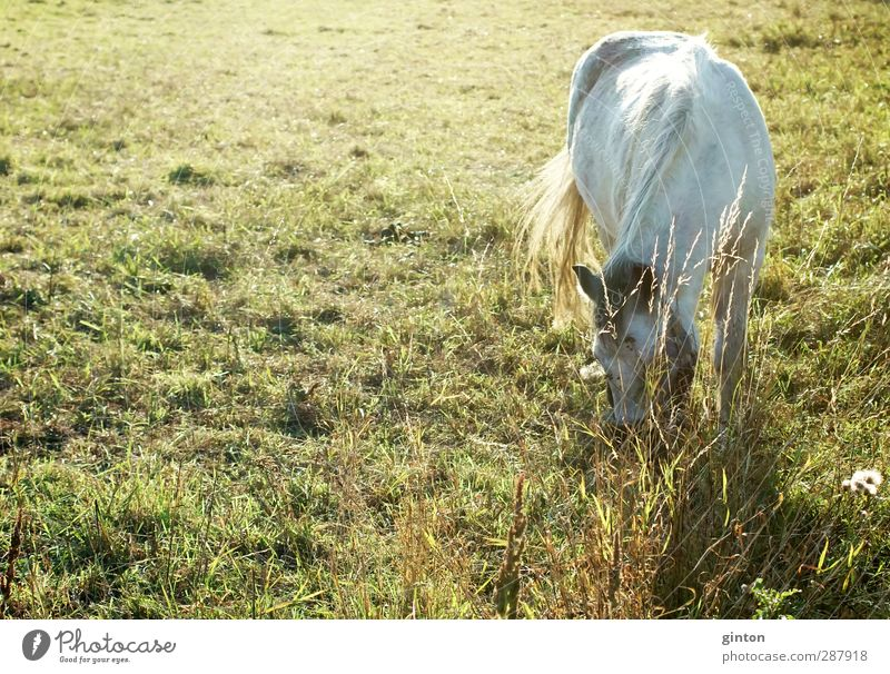 White horse Nature Landscape Plant Animal Sunlight Beautiful weather Grass Foliage plant Meadow Farm animal Horse 1 Blossoming To feed Esthetic Fresh Bright