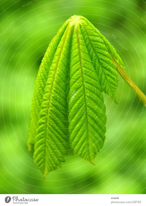 Nature Tree Green Plant Leaf Hang Vertical Lifeless Chestnut tree