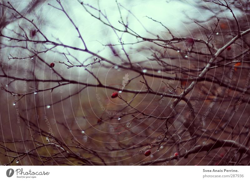 autumn. Nature Water Drops of water Autumn Bad weather Plant Bushes Leaf Branch Branched Twigs and branches Rose hip Wet Natural Pain Longing Colour photo