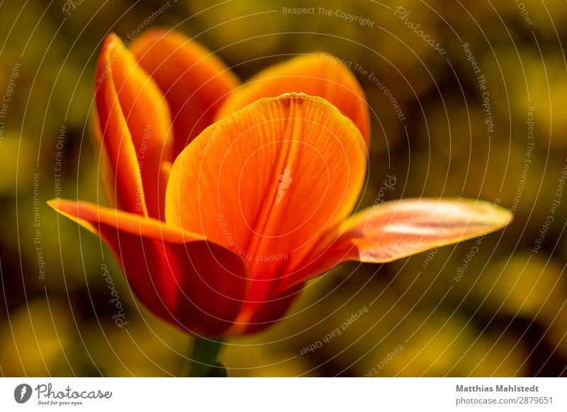 tulip flower Environment Nature Plant Spring Flower Tulip Blossom Blossoming Illuminate Exceptional Fragrance Beautiful Natural Yellow Gold Orange Spring fever