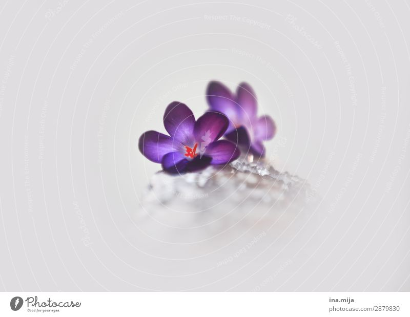 Breaking the ice Environment Nature Plant Spring Flower Crocus Garden Fragrance Beautiful Gray Violet White Esthetic Colour Hope Idyll Cold Optimism Pure Dream