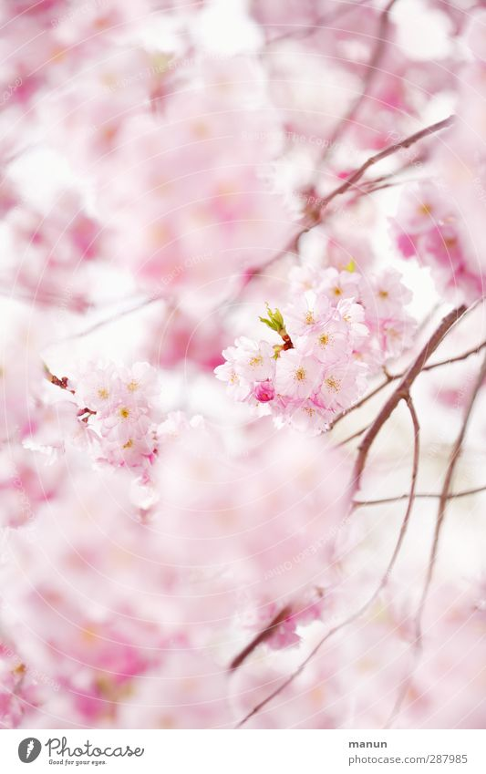 pink cherry blossoms Nature Spring Tree Blossom Cherry blossom Cherry Blossom Festival Blossoming Pink Spring fever Anticipation Colour photo Exterior shot