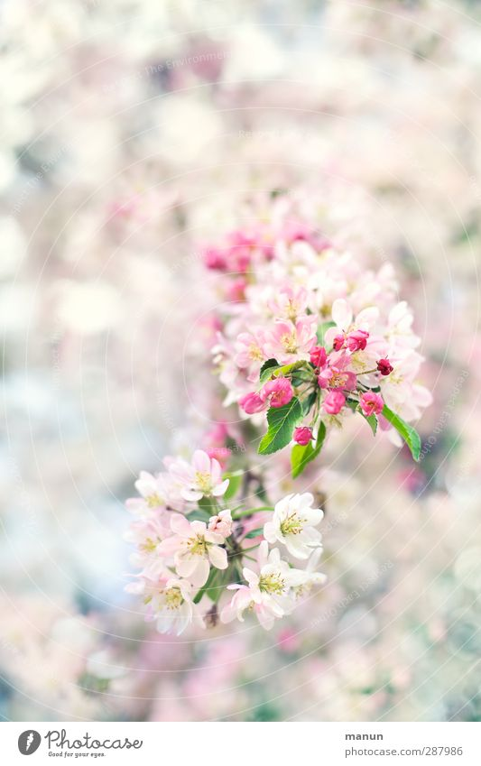 flowering twig Nature Spring Tree Blossom Twigs and branches Cherry blossom Apple blossom Bright Natural Pink White Spring fever Anticipation Colour photo