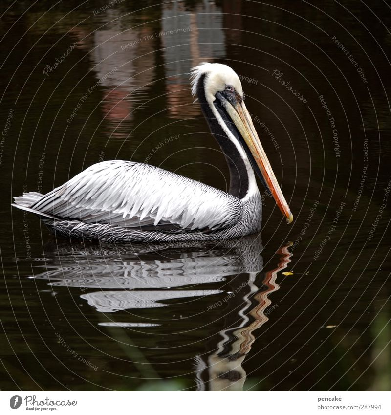 I'm gonna get you a diving shithead for manun. Water Animal Wild animal Zoo Pelican 1 Mirror Adventure Discover Relaxation Personal hygiene Life