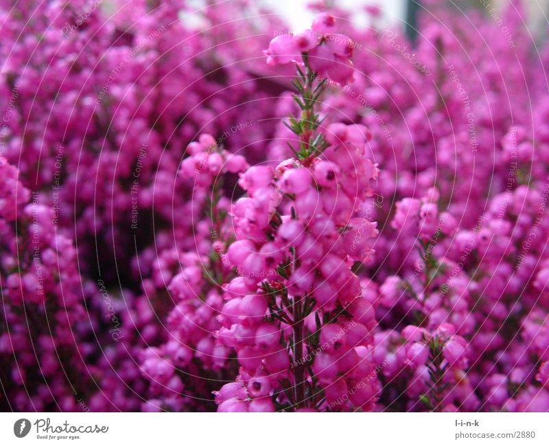 Erica gracilis II Heather family Pink