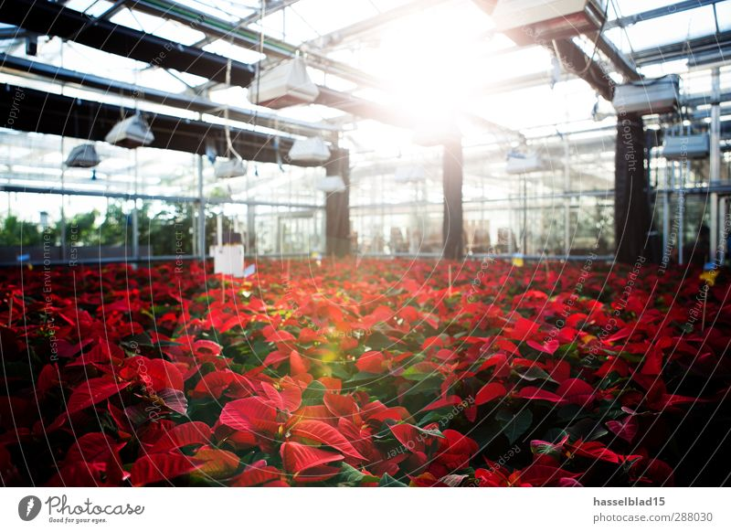 Poinsettias Greenhouse Shopping Professional training Academic studies Study University & College student Professor Laboratory Gardening Agriculture Forestry