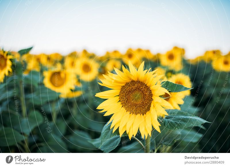 Beautiful sunflower field Sunflower Field sunflowers Background picture Nature Green Flower Summer Yellow Exterior shot Spring Meadow Beauty Photography Sky