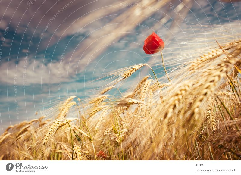 Sky Nature Beautiful Summer Plant Red Clouds Landscape Yellow Environment Blossom Moody Field Wind Growth Beautiful weather