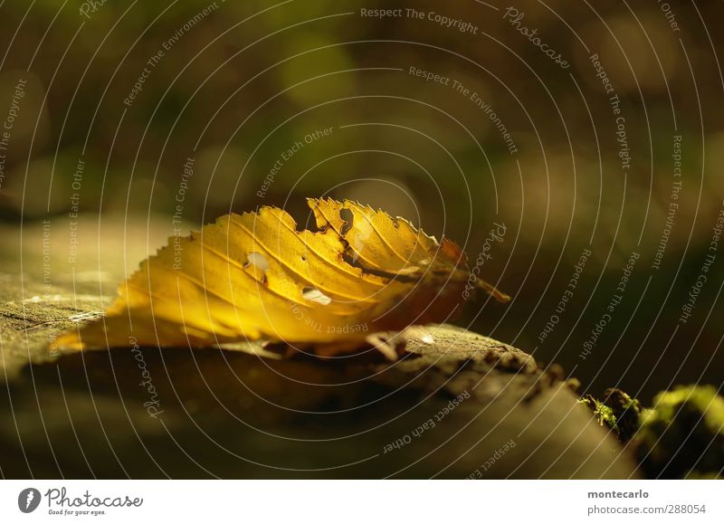 Nature Old Plant Leaf Forest Yellow Environment Autumn Illuminate Beautiful weather Point Transience Dry Prongs