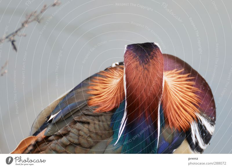 plumage Environment Nature Animal Wild animal Bird 1 Blue Red Mandarin duck Duck Colour photo Exterior shot Close-up Deserted Copy Space top Day