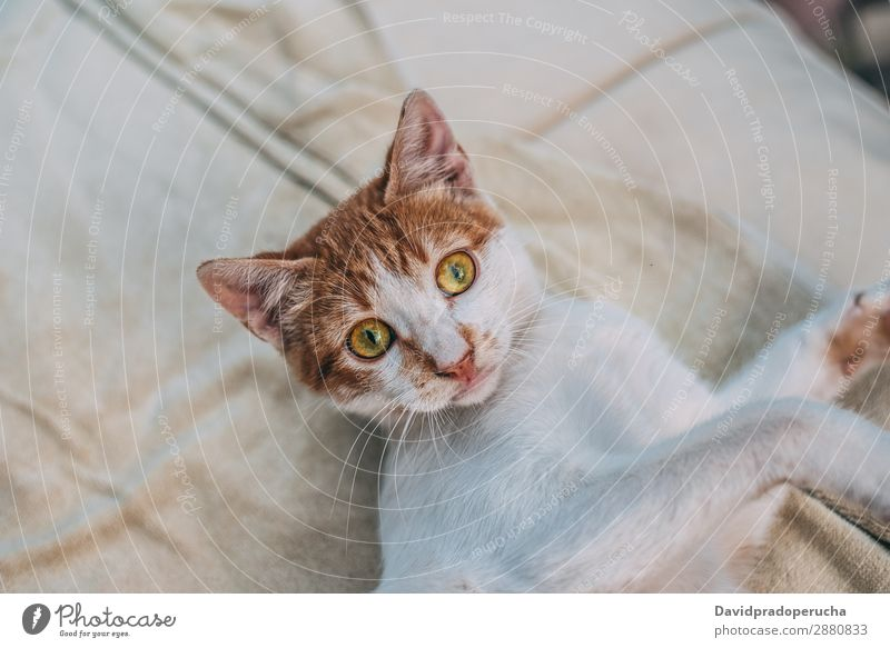 Portrait domestic cute pet cat Cat Pet Animal Purebred Mammal Domestic furry Portrait photograph Kitten Cute Breed pretty Eyes Fluffy Fur coat puss Ear Looking