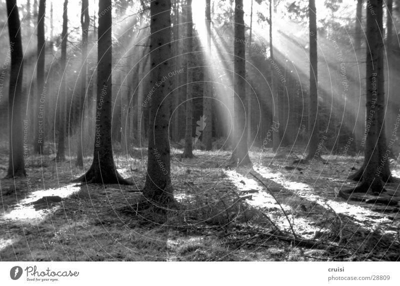 Black Forrest Forest Tree Light Sunbeam Shaft of light Shadow Black & white photo