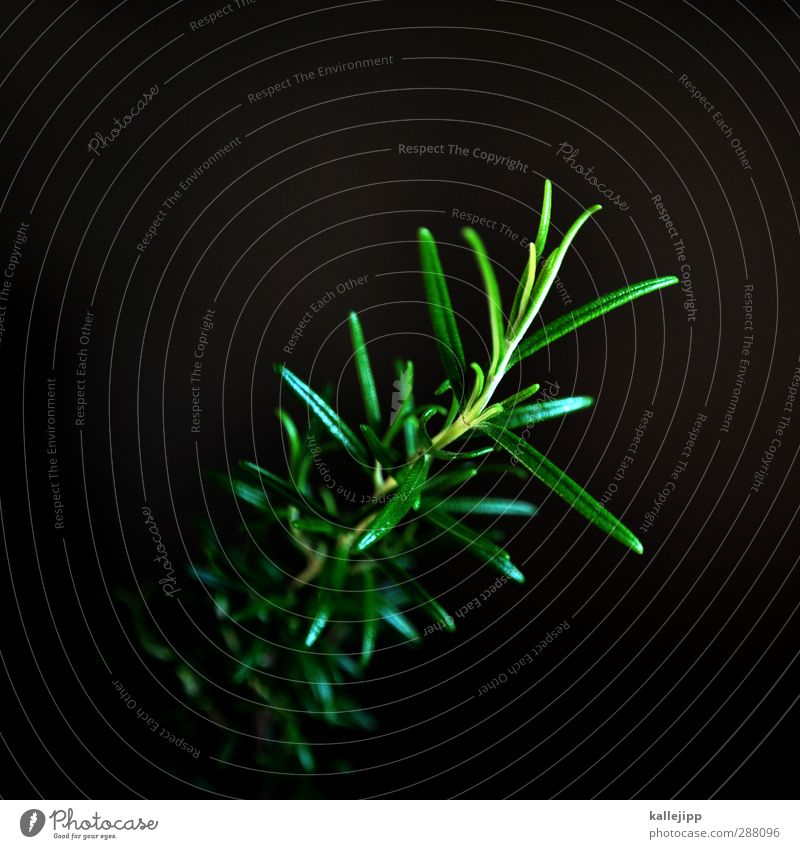 rose maria Nature Plant Foliage plant Garden Green Herbs and spices Rosemary Twig Colour photo Interior shot Light Shadow Contrast Low-key Blur