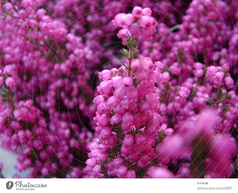 Pink Heather family