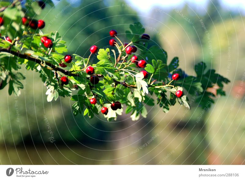 branch Nature Summer Autumn Beautiful weather Plant Tree Bushes Spring fever Twig Twigs and branches Branch Rawanberry Rowan tree Seed head Leaf green Rachis