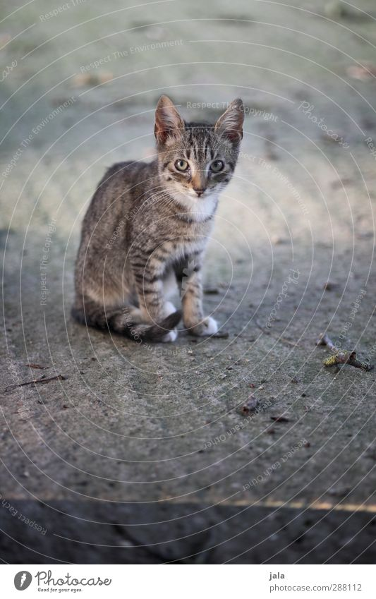 Cat Beautiful Animal Gray Pet Timidity Attentive