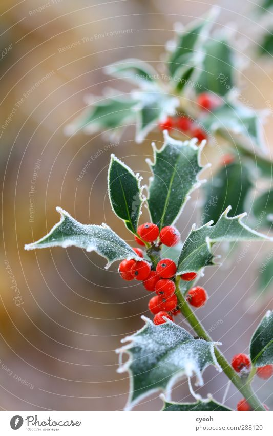 Nature Christmas & Advent Green Plant Red Leaf Winter Cold Snow Garden Healthy Ice Park Growth Fresh Illuminate