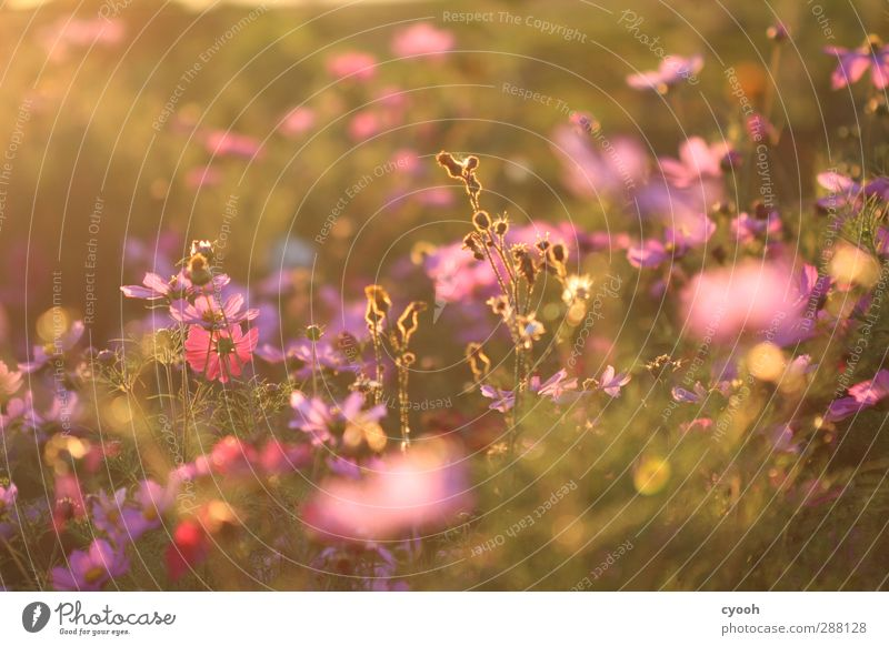 Nature Summer Flower Relaxation Meadow Warmth Grass Sadness Weather Pink Growth Illuminate Beautiful weather Soft Grief To enjoy