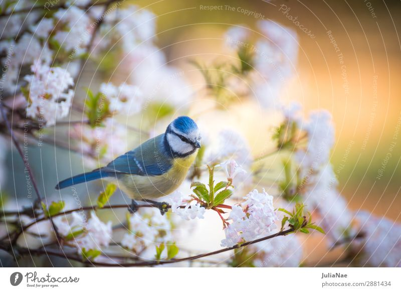 little tit in a flowering tree Tit mouse Bird Songbirds Tree Spring Blossom Blossoming Flower Twig Branch Feeding Nature Exterior shot