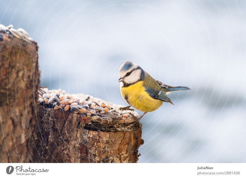 small blue tit looking for food in winter Tit mouse Bird Songbirds Feeding Nature Exterior shot Ice Snow Winter Cold
