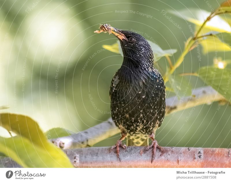 Star with food in his beak Nature Animal Sunlight Beautiful weather Tree Leaf Twigs and branches Wild animal Bird Animal face Wing Claw Starling Beak Feed