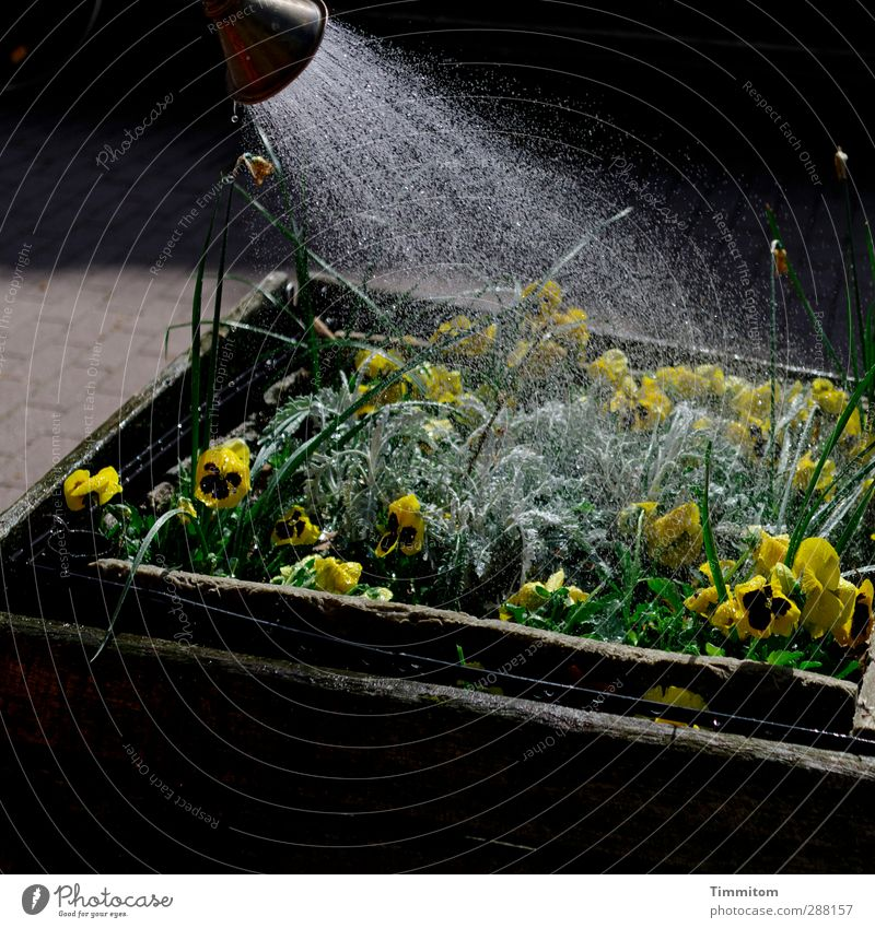 It Hurts Me To Plant Flower Blossom Window box Wet Yellow Black Emotions Cast Splash of water Drops of water Colour photo Subdued colour Exterior shot Deserted