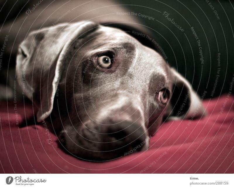Dog Animal Eyes Emotions Movement Lie Elegant Observe Pelt Ear Animal face Sofa Passion Discover Pet Watchfulness