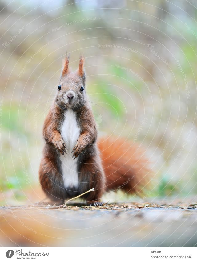 cornetto Environment Nature Animal Wild animal 1 Brown Gray Squirrel Rodent Colour photo Exterior shot Deserted Copy Space right Copy Space top Morning