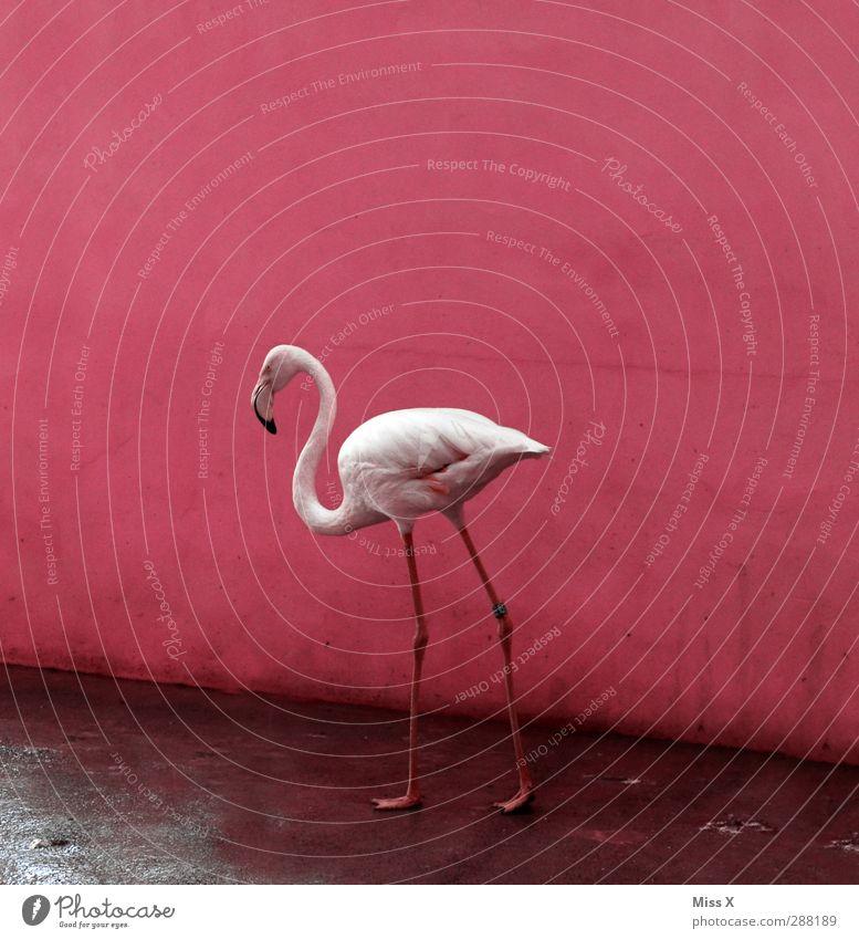 Flamgomin Animal Flamingo 1 Pink Bird Colour photo Multicoloured Deserted Copy Space top Animal portrait