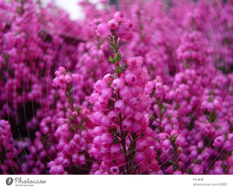 Erica gracilis Heather family Pink